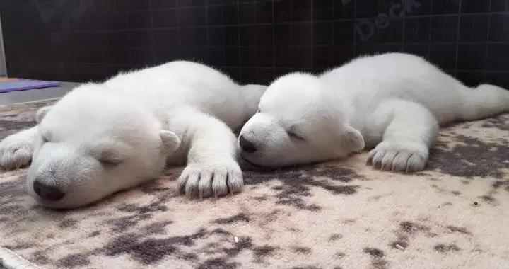 """俄罗斯两只北极熊宝宝出生后被遗弃,由""""人类妈妈""""抚养长大"""