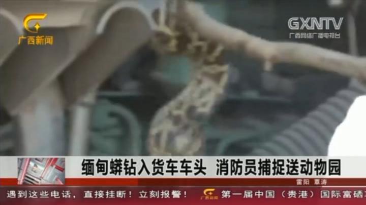 回顾:缅甸蟒钻入货车车头,消防员捕捉送入动物园