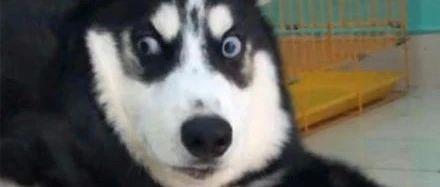 网友把雪橇犬交给男友带,可接下来她看到的画面,崩溃了!