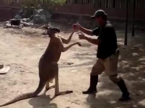 职业拳击手?袋鼠四处找人类练习搏击技巧,果然成功都需要努力