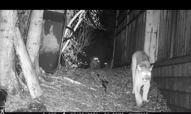 温哥华4只美洲狮蹿到居民家门口,多只宠物狗被袭击图2