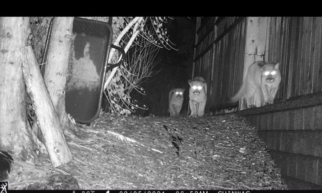 温哥华4只美洲狮蹿到居民家门口,多只宠物狗被袭击图1
