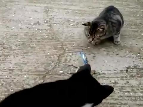 狸花猫黑猫轮番上阵欺负一只螃蟹,螃蟹:一起上,有钳我怕啥!