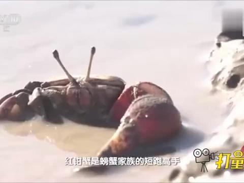 红钳蟹做法多样,捕捉有技巧要用传统技艺荡蟹