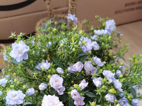 春天是开花好时节,磷酸二氢钾少不了,学会使用才能让植物爆开花