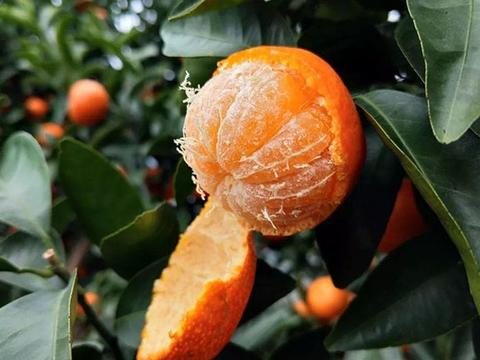 爱吃橘子的你可能买错了:砂糖橘、小蜜橘、贡橘,你能分清楚吗?