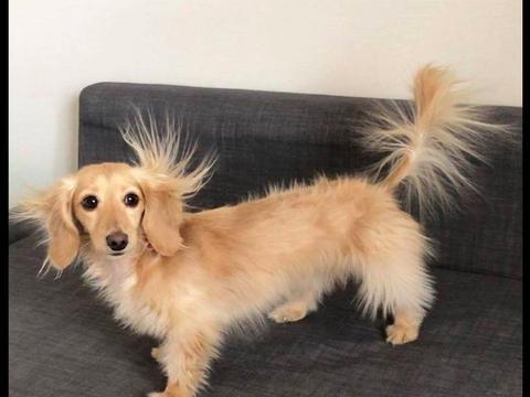 当狗狗遇上了静电,耳朵尾巴四肢的毛都竖起来了,好有仙气的感觉
