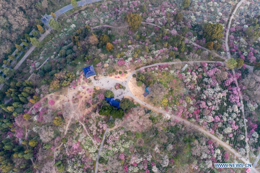 Aerial photo taken on Feb. 19, 2021 shows the Meihuashan (Plum Blossom Hill) scenic area in Nanjing, east China's Jiangsu Province. A festival featured with plum blossom kicked off here on Friday. (Photo by Zhang Peng/Xinhua)