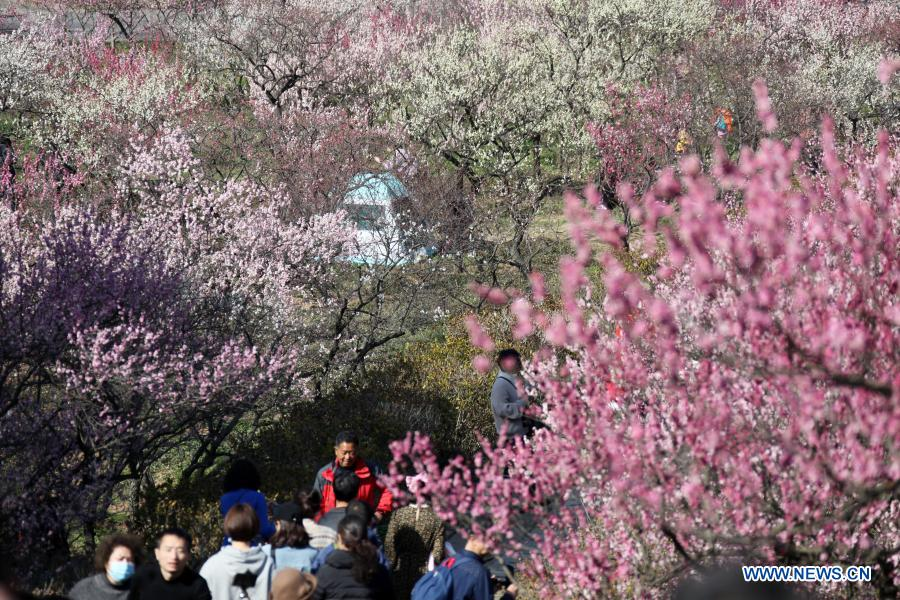 Tourists visit the Meihuashan (Plum Blossom Hill) scenic area in Nanjing, east China's Jiangsu Province, Feb. 19, 2021. A festival featured with plum blossom kicked off here on Friday. (Photo by Sun Zhongnan/Xinhua)