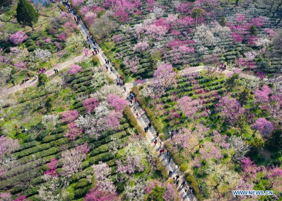 Aerial photo taken on Feb. 19, 2021 shows tourists visiting the Meihuashan (Plum Blossom Hill) scenic area in Nanjing, east China's Jiangsu Province. A festival featured with plum blossom kicked off here on Friday. (Photo by Su Yang/Xinhua)