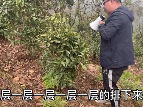 布朗山巅布朗峰,班章之巅三垛山,布朗主峰的茶树究竟能长多粗