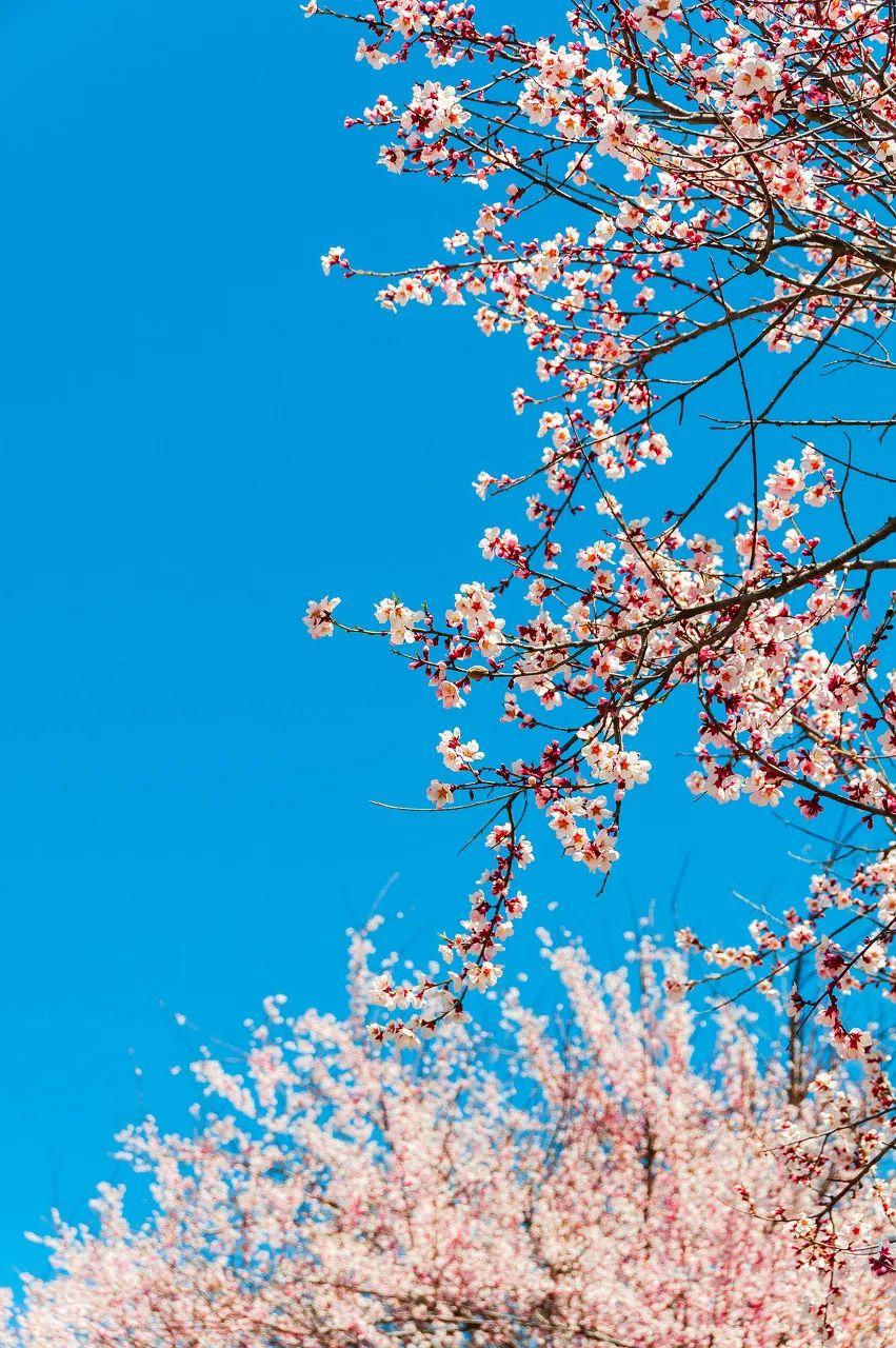 三月的林芝太美了 雪域桃花惊喜满满