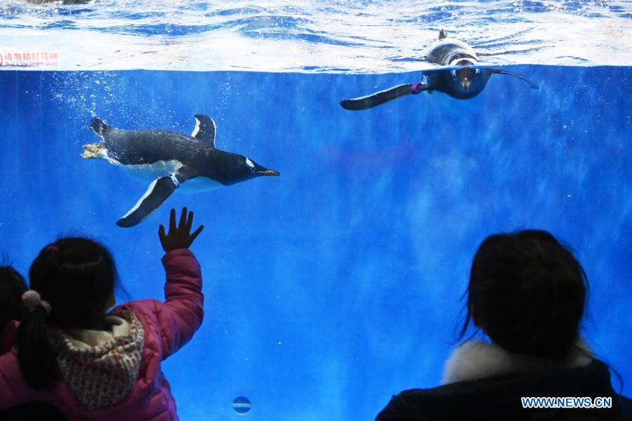 Visitors view penguins at Harbin Polarland in Harbin, capital of northeast China's Heilongjiang Province, Feb. 21, 2021. The Harbin Polarland resumed its operation with sufficient COVID-19 prevention and control measures on Sunday. (Xinhua/Wang Jianwei)