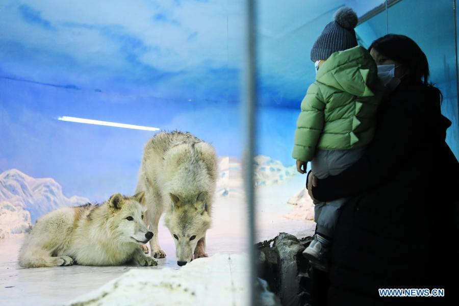 Visitors view Arctic wolves at Harbin Polarland in Harbin, capital of northeast China's Heilongjiang Province, Feb. 21, 2021. The Harbin Polarland resumed its operation with sufficient COVID-19 prevention and control measures on Sunday. (Xinhua/Wang Jianwei)