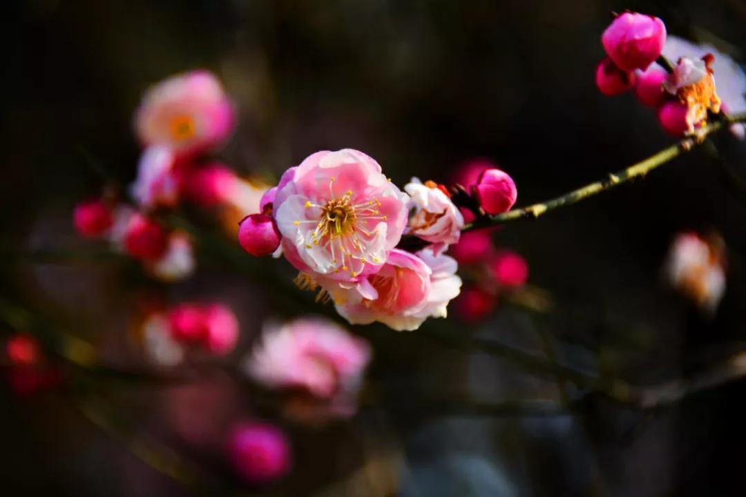 河南内乡:春天到来梅花开 清香淡雅扑鼻来