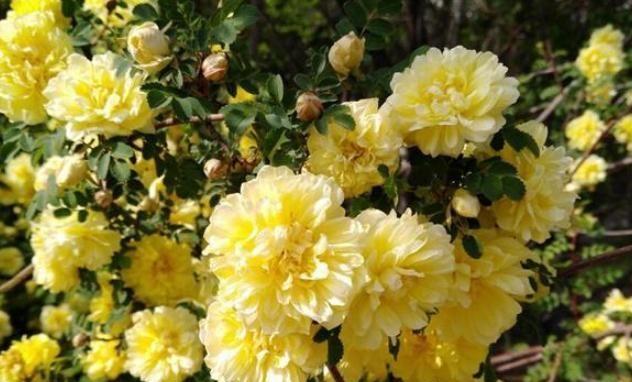 院子里栽上这4种爬藤花卉,新手也能养好!