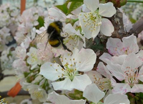 熊蜂授粉丨大棚樱桃授粉新方法