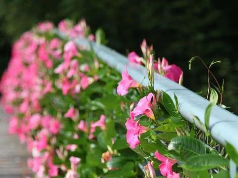 开花的室内爬藤植株,南北方一样养,阳台好物推选