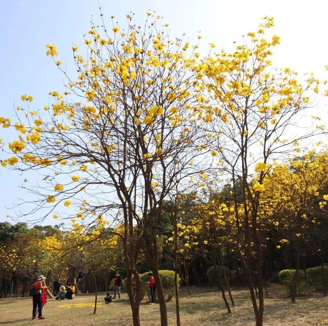 关注|狮山公园的黄花风铃木和桃花也开啦,快趁着好天气去赏花吧