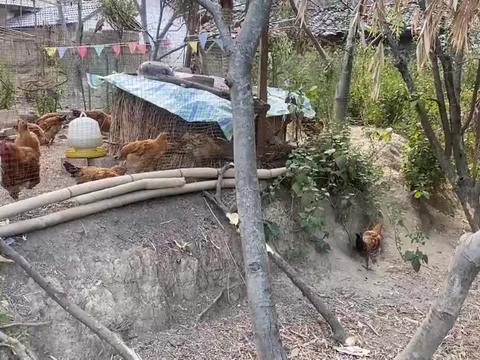 大凉山的村民家家养了50多只鸡,听我说完原因你会急着来,信不信