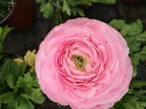 花朵很像牡丹花,别名洋牡丹,花毛茛养护的几个知识点
