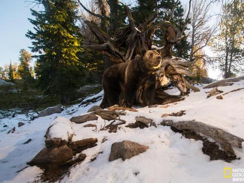 灰熊数量大幅增加,人类如何与之相处?