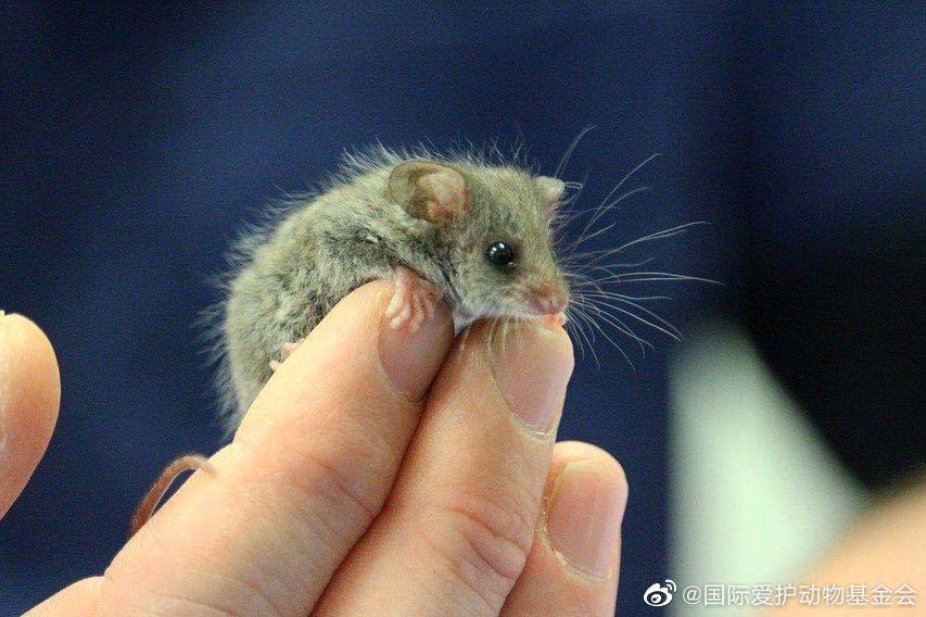 花瓣(Petal)小姐是一只侏儒负鼠……