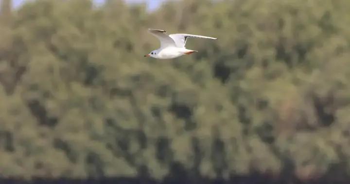 成群候鸟在珠海这片红树林越冬栖息