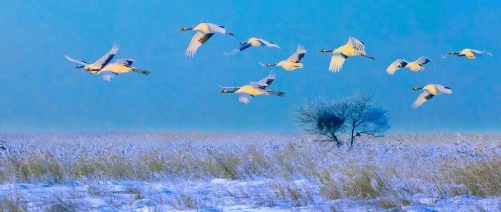 云赏·冰雪龙江丨冬日的扎龙,一个有丹顶鹤的童话世界