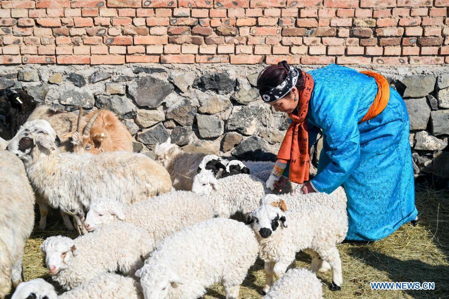 A shepherd checks lambs in Xilinhot, north China's Inner Mongolia Autonomous Region, Feb. 24, 2021. Shepherds on Xilingol grassland are busy taking care of the lambs as warmer days approach. (Xinhua/Lian Zhen)