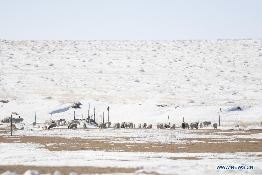 Photo taken on Feb. 24, 2021 shows a flock of sheep in Xilinhot, north China's Inner Mongolia Autonomous Region. Shepherds on Xilingol grassland are busy taking care of the lambs as warmer days approach. (Xinhua/Liu Lei)