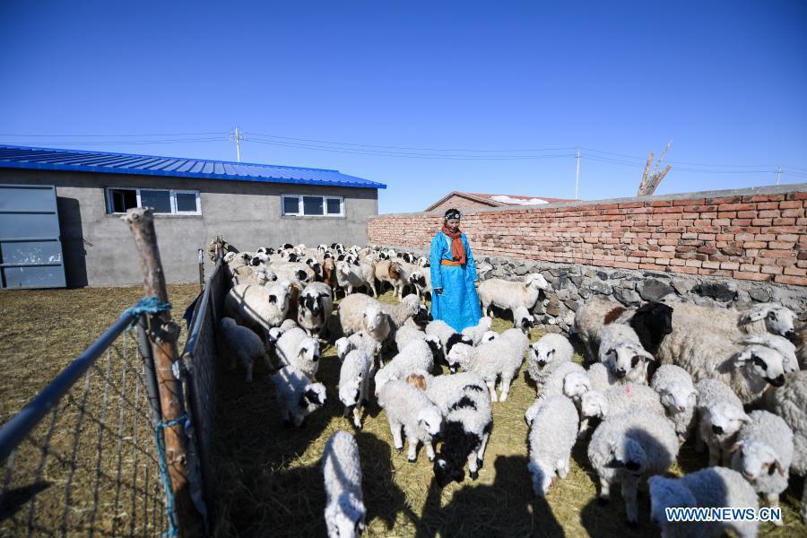 A shepherd checks lambs in Xilinhot, north China's Inner Mongolia Autonomous Region, Feb. 24, 2021. Shepherds on Xilingol grassland are busy taking care of the lambs as warmer days approach. (Xinhua/Liu Lei)