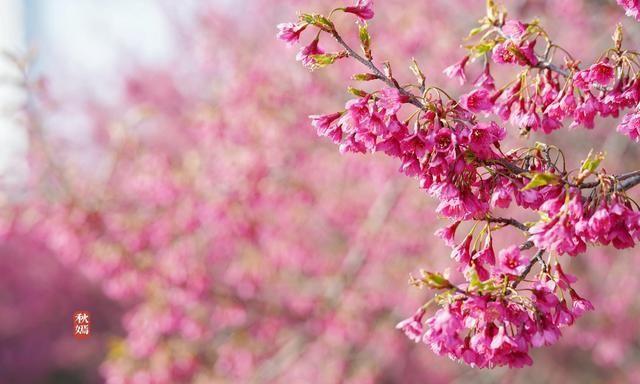 常熟马路旁有片寒绯樱盛开了,鲜艳靓丽,这座旅游城市春景迷人