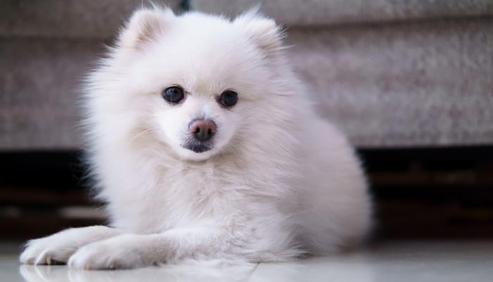 养宠物狗,喂太饱是禁忌,这样的狗狗大多活不长!