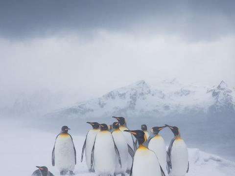 南极惊现罕见的黄色王企鹅