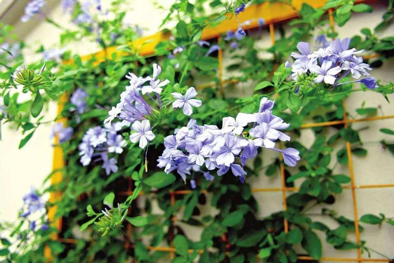 夏天太阳大晒得温度高,家里养几盆爬藤花!