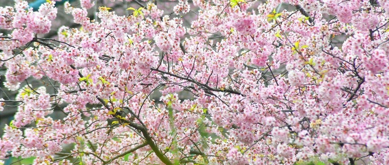 武大樱花将于26日前后开放