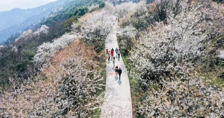 重庆万亩樱花盛开,1.5h直达露营看日出