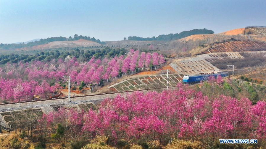 A train runs past blossoms at Luzhou Township, Shanggao County of Yichun City, east China's Jiangxi Province, Feb. 23, 2021. (Photo by Chen Qihai/Xinhua)