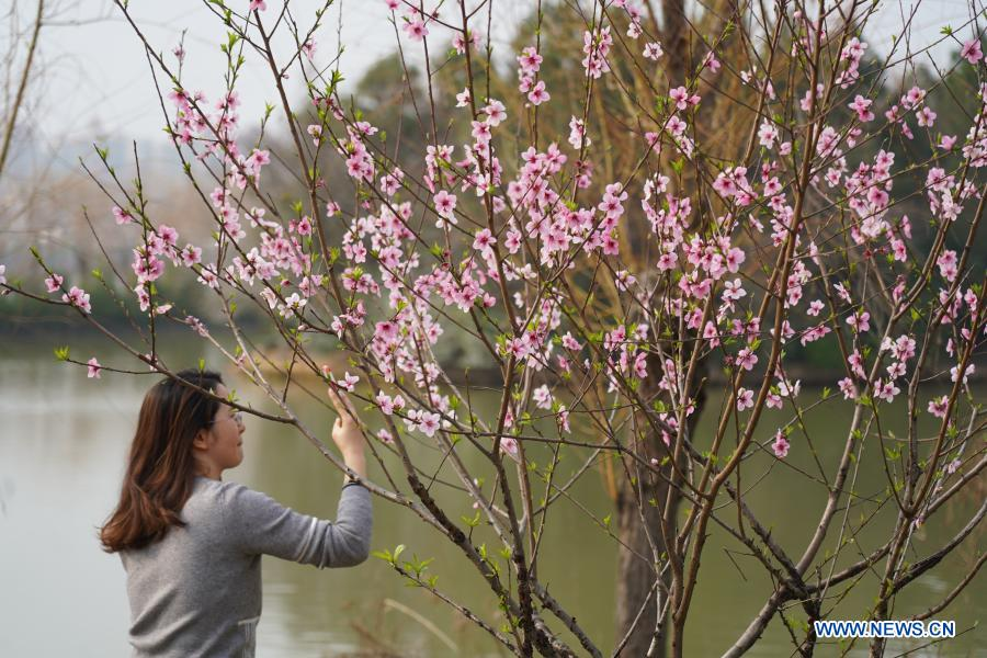 A woman takes photos of blossoms in High-tech District of Nanchang, east China's Jiangxi Province, Feb. 24, 2021. (Xinhua/Zhou Mi)