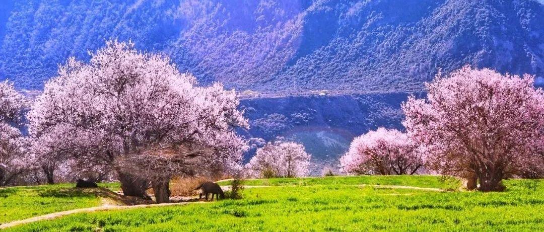 遇见中国最美藏地桃花源丨3月21日,一同见证西藏林芝桃花盛宴,惊艳开幕!