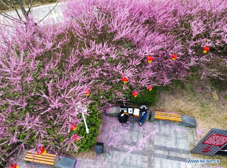 Aerial photo taken on Feb. 24, 2021 shows people enjoying their time in blossoms at a garden in Zunyi of southwest China's Guizhou Province. (Photo by Luo Xinghan/Xinhua)