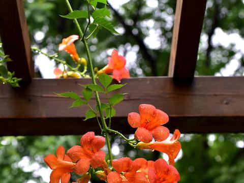 适合新手栽种的爬藤花卉
