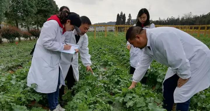 贵州省农业专家在清镇开展种子田间种植纯度鉴定