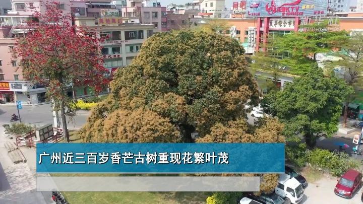 广州近三百岁香芒古树重现花繁叶茂