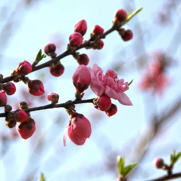 【探索】申城桃花提前初绽,预计3月上中旬进入盛花期