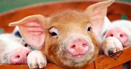 引起猪消化不良的原因是什么,怎么治疗