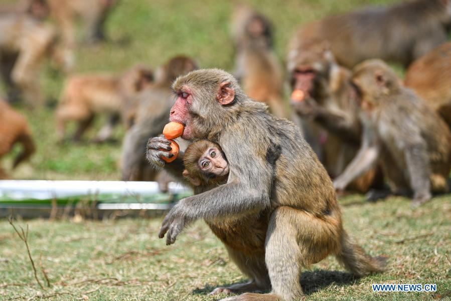A macaque enjoys food shaped like tangyuan, a kind of round and sweet dumpling made of glutinous rice flour, at the Hainan Tropical Wildlife Park and Botanical Garden in Haikou, south China's Hainan Province, Feb. 25, 2021. Most Chinese usually eat tangyuan on the Lantern Festival. The word tangyuan is nearly the same as tuanyuan, which means reunion in Chinese, making the food a symbol of families coming together. (Xinhua/Pu Xiaoxu)