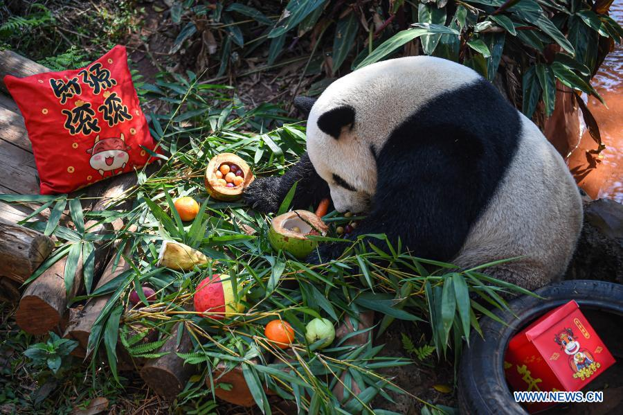 Giant panda Shunshun enjoys food shaped like tangyuan, a kind of round and sweet dumpling made of glutinous rice flour, at the Hainan Tropical Wildlife Park and Botanical Garden in Haikou, south China's Hainan Province, Feb. 25, 2021. Most Chinese usually eat tangyuan on the Lantern Festival. The word tangyuan is nearly the same as tuanyuan, which means reunion in Chinese, making the food a symbol of families coming together. (Xinhua/Pu Xiaoxu)