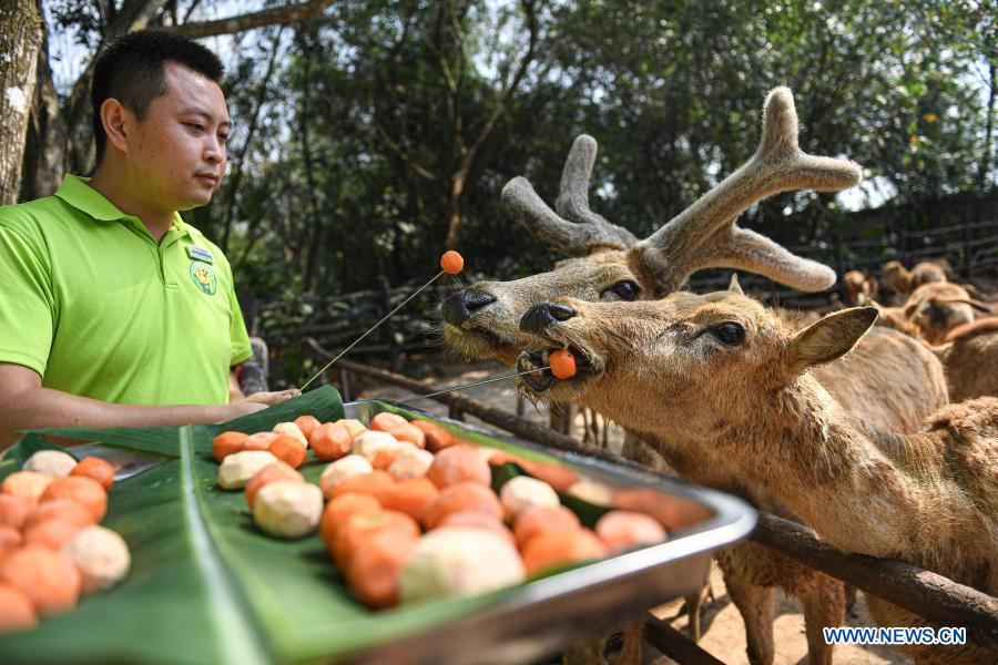 A staff member feeds milu deer with food shaped like tangyuan, a kind of round and sweet dumpling made of glutinous rice flour, at the Hainan Tropical Wildlife Park and Botanical Garden in Haikou, south China's Hainan Province, Feb. 25, 2021. Most Chinese usually eat tangyuan on the Lantern Festival. The word tangyuan is nearly the same as tuanyuan, which means reunion in Chinese, making the food a symbol of families coming together. (Xinhua/Pu Xiaoxu)